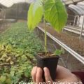 Oxytree – to drzewo rosnące najszybciej na świecie - plantacje