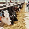 Producent dodatków paszowych i lekarstw dla bydła szuka odbiorców