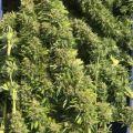 Kwiaty konopi sprzedaż już od 1 kg doskonałej jakości susz - producent