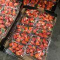 Truskawki z Hiszpanii 500 g po 10 opakowań