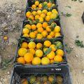 Hiszpańskie pomarańcze Navelina L4